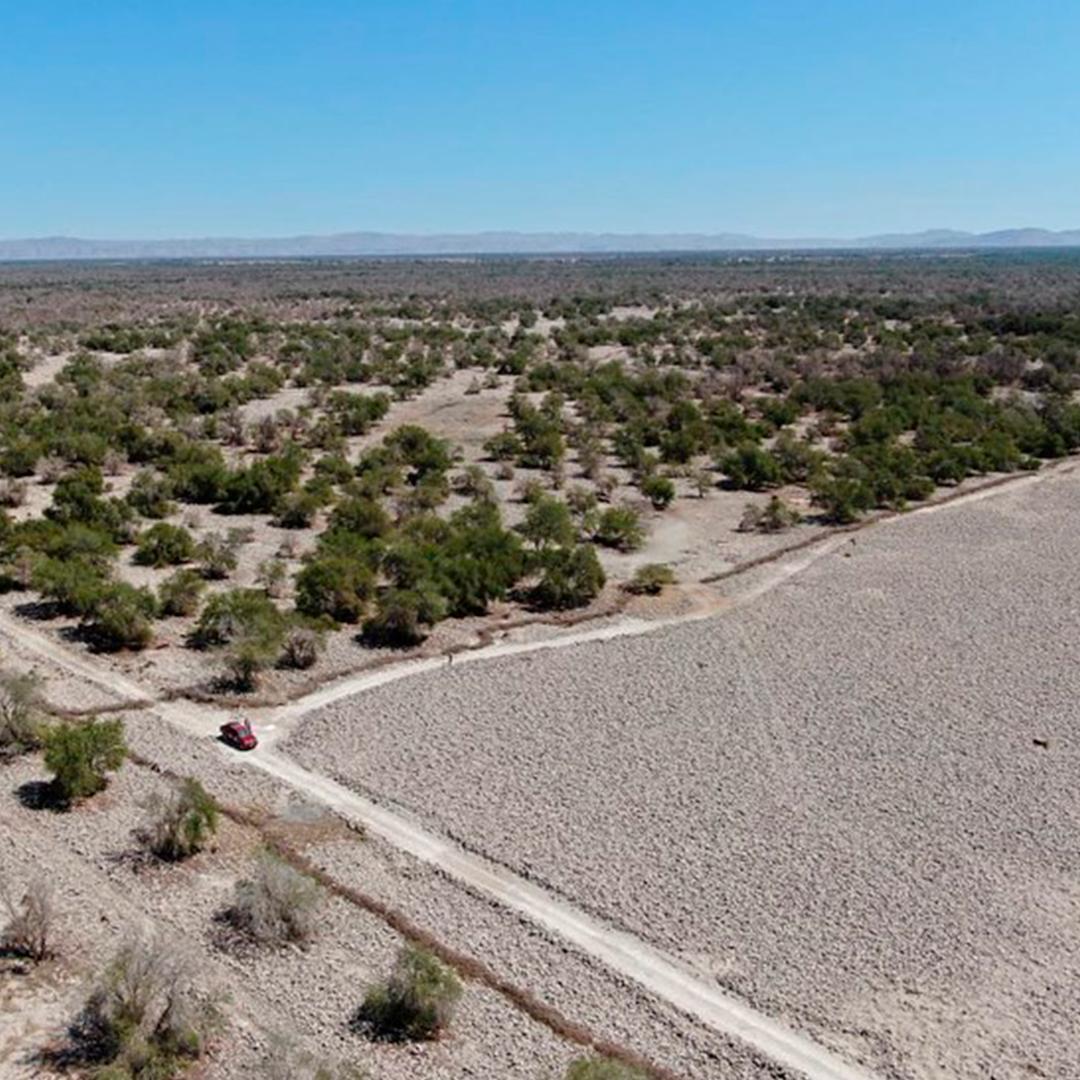 Plantaciones de Tamarugo en la Pampa del Tamarugal