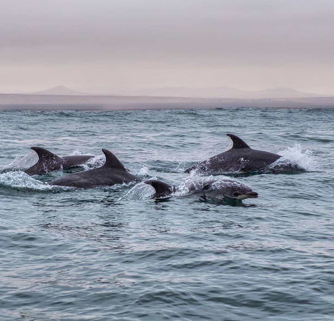 cuatro delfines nadando en el mar con atardecer de fondo