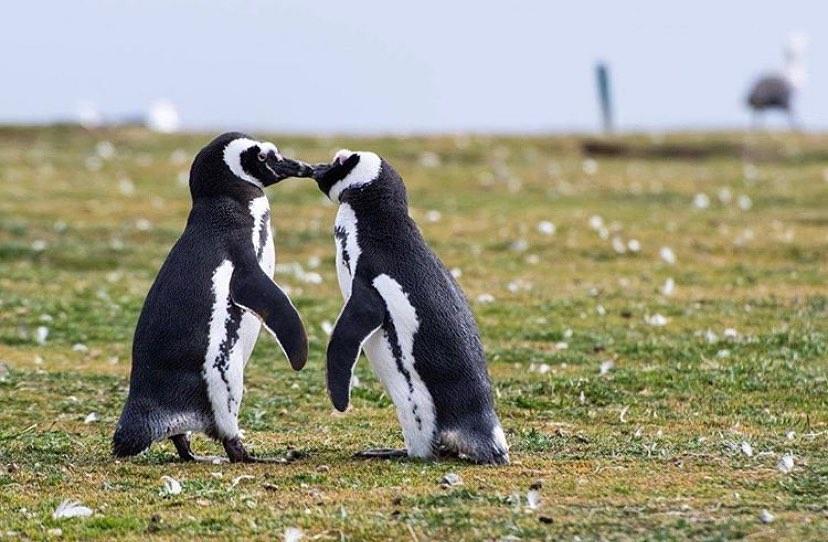 pareja de pinguinos acariciandose en el parque nacional isla magdalena con fondo difuminado