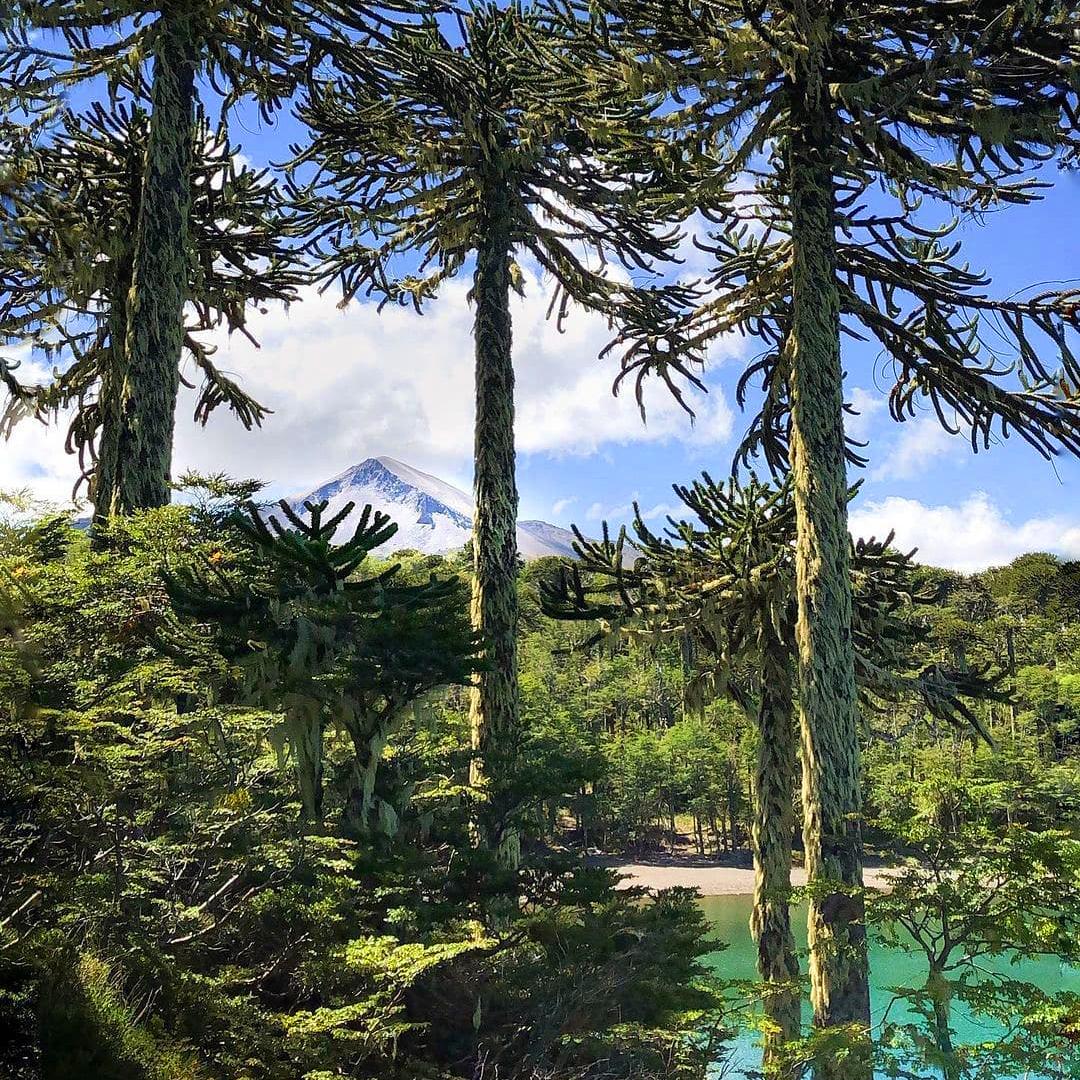fotografía parque nacional con araucarias