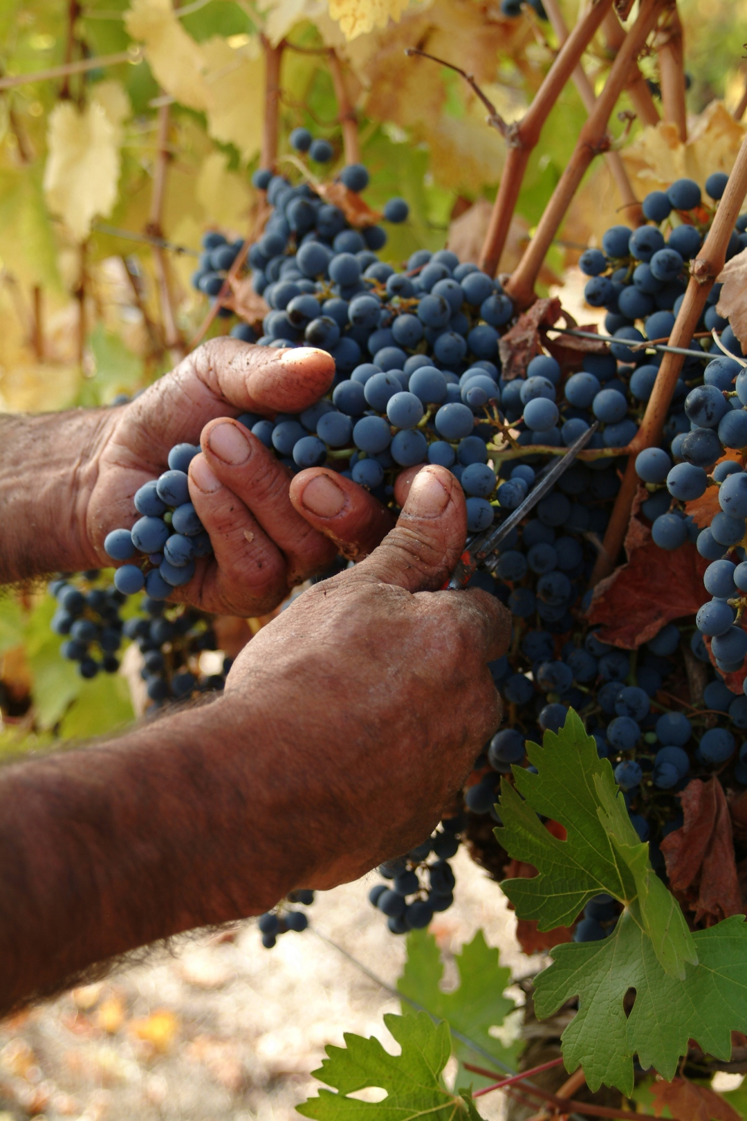 cosecha-de-uvas
